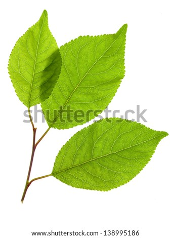Green leaves of a young plant are isolated on a white background