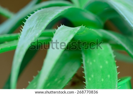 green leaves of aloe vera closeup macro - stock photo