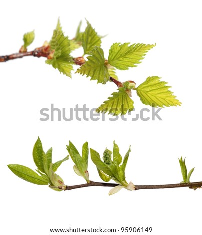 green leaves of birch and bird cherry on white background