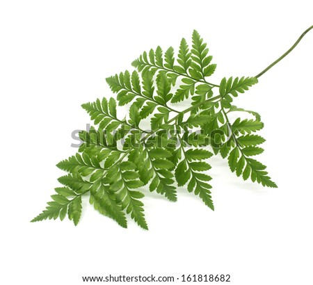 green leaves of fern isolated on white - stock photo