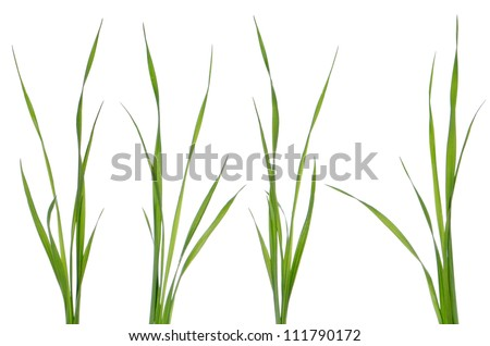 Green leaves of grass isolated on a white background. - stock photo