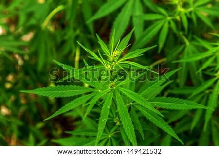 Green leaves of hemp Cannabis, marijuana. Wild, not cultivated hemp grows on vintage background wall of a building. Narcotic medical plant. Cannabis cultivation is prohibited by law