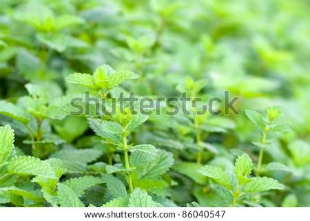 green leaves of melissa officinalis - lemon balm - stock photo