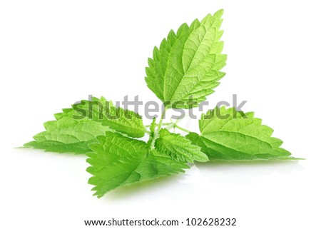 green leaves of nettle isolated on white background - stock photo