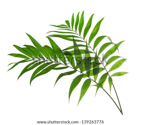Green leaves of palm tree Howea isolated on white - stock photo