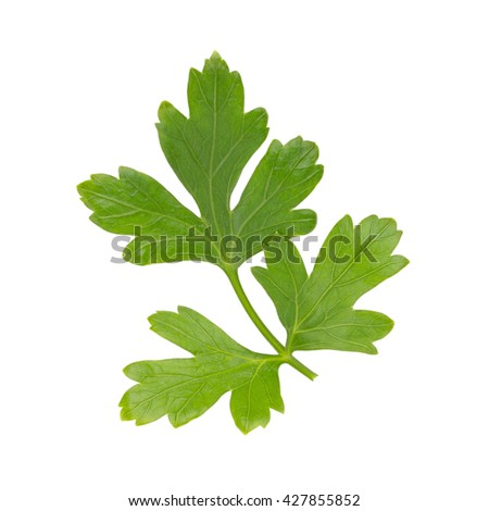 green leaves of parsley, Parsley herb, Fresh parsley, parsley bunch isolated on white background.