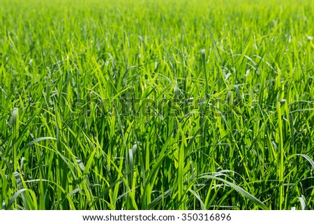 green leaves of rice in paddy, background and texture