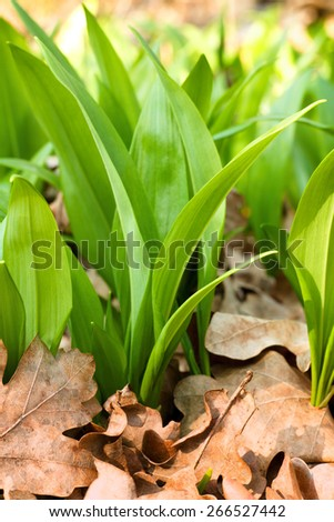 green leaves of spring wild garlic
