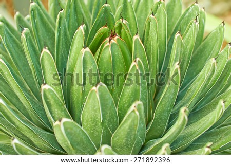 Green leaves of the agave - stock photo