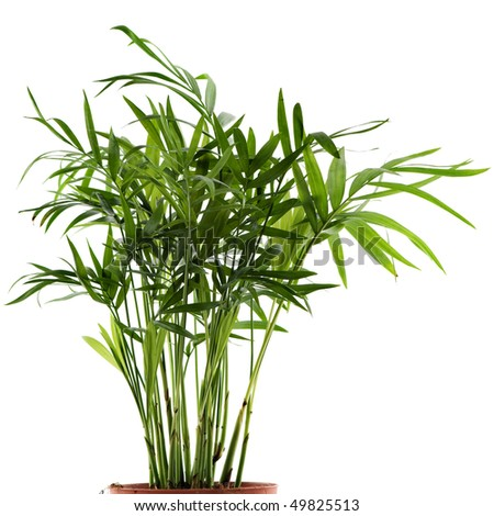green leaves of the chamaedorea plant on white - stock photo