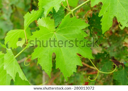 green leaves of the grape in nature background - stock photo