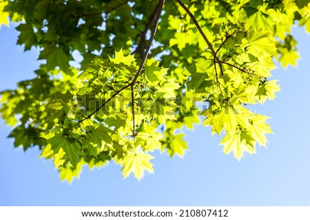 Green leaves of the maple tree in the sunshine against the blue sky background.