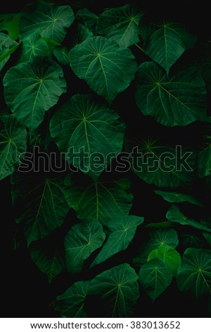 Green leaves on a dark background, darkness light background and leaf, light and shadow, darkness,blurred background - stock photo