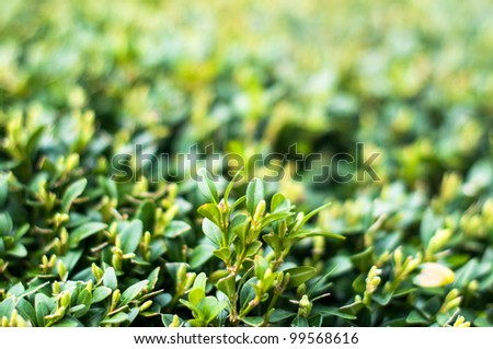 Green Leaves On Branches Of Buxus In Summer - stock photo