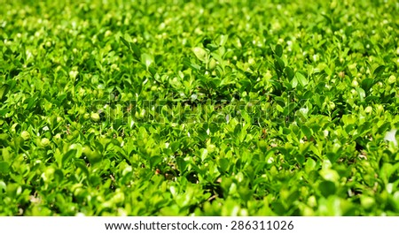 Green Leaves On Branches Of Buxus With Copy Space - stock photo
