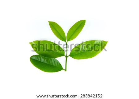 Green leaves on white background,leaf,spring