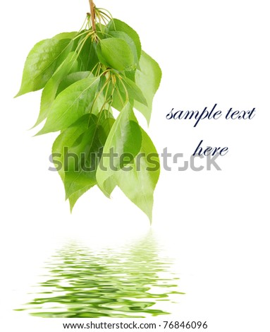Green leaves reflected in water isolated - stock photo