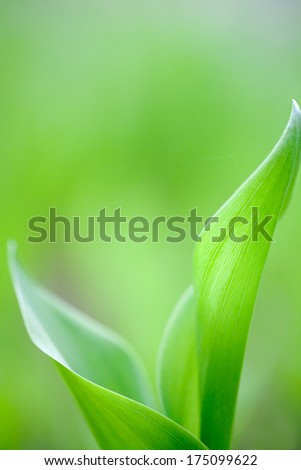 Green leaves rise of new lily of the valley grow