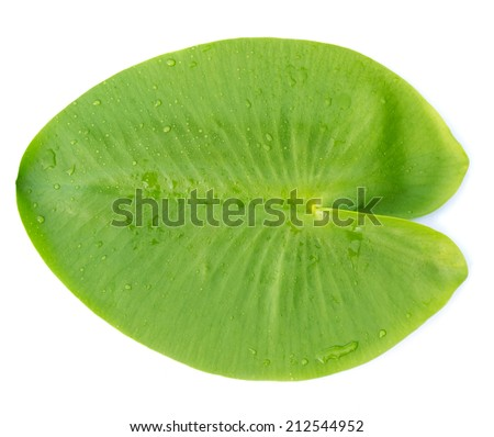 Green leaves water lily isolated on white - stock photo