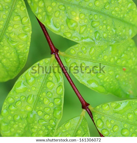Green leaves with water drops fresh after a rain . - stock photo