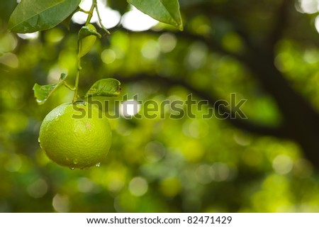 Green lemon hanging on a tree - stock photo