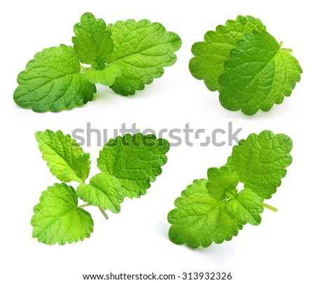 Green lemon melissa, mint leaves isolated on a white background. - stock photo