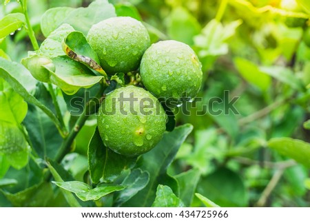 green Lemon on branch tree in a rainy day - stock photo
