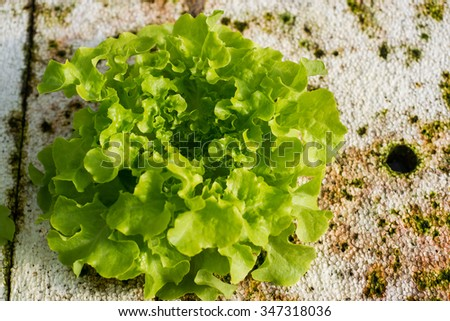 green lettuce on Hydrophonic Plantation with fungi - stock photo