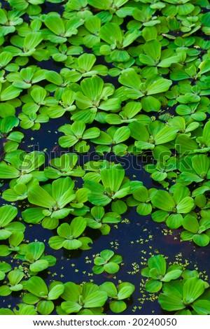 Green lillies bright - stock photo