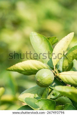 Green lime hanging on the tree in garden  ; selective focus with blur background. - stock photo