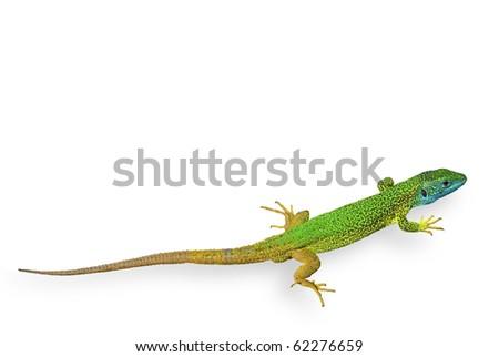 green lizard isolated - stock photo