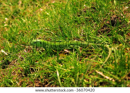 green lizard on a background of a summer juicy grass - stock photo
