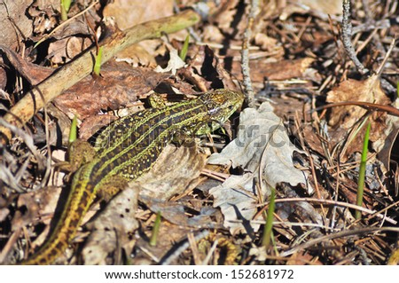 Green lizard scares his rustle among the dead leaves. May, the Ryazan area, Russia.