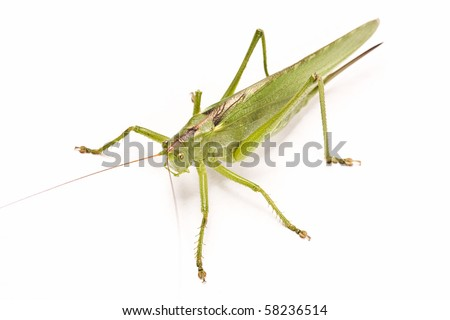 green locust isolated on white background - stock photo