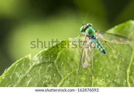 Green Long Legged Fly perched on a plant leaf.