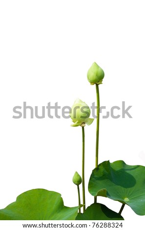 Green lotus flower isolated on white background - stock photo