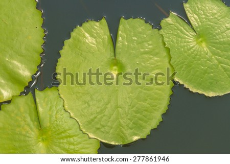 Green Lotus leaf with water drop as background.