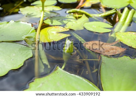 green lotus leaves in thailand