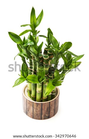 Green lucky bamboo plant isolated on the white background. - stock photo