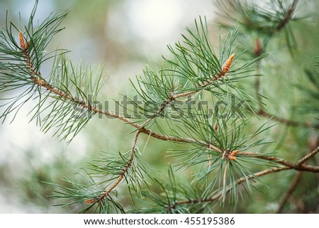 Green lush spruce branch. Fir branches. Spruce background.Coniferous forest. Background with bright spruce branches. Spruce branches in drops of rain. Sunlight. Drops of dew on the branches