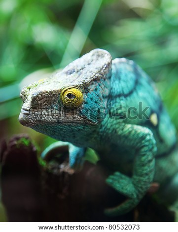 Green male chameleon on the tree - stock photo