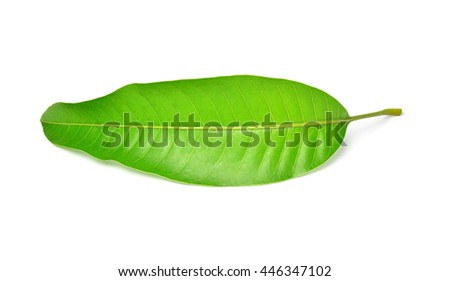 Green mango leaves on white background