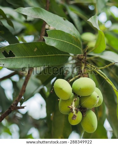 green mango on tree with some leaf - stock photo