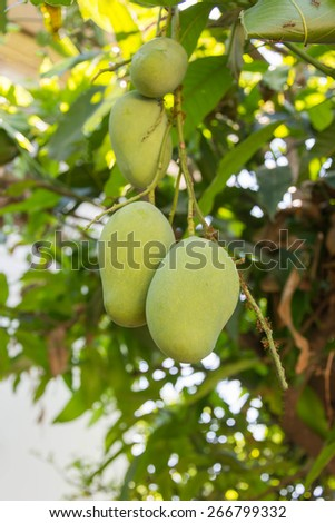 green mangoes hanging on mango tree - stock photo