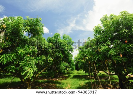 Green mangoes on the tree - stock photo