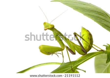 green mantis isolated on white