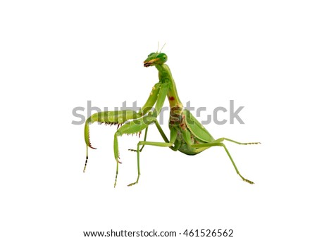Green mantis isolated on white background.