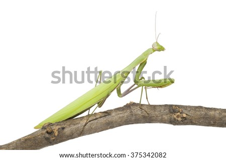 Green mantis on a twig (isolated on white) - stock photo