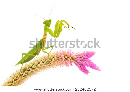 Green mantis on flower isolated on a white background - stock photo