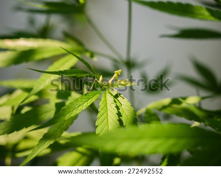 Green mantis on Marijuana leaf - stock photo